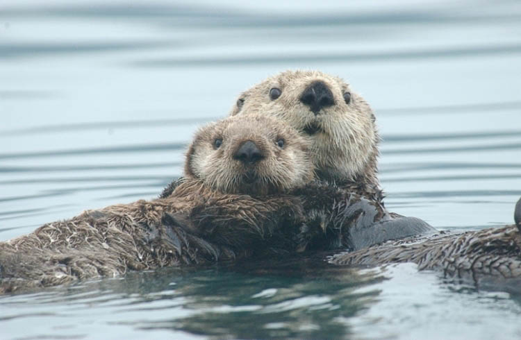 A sea otter and her pup float in Alaska's Prince William Sound