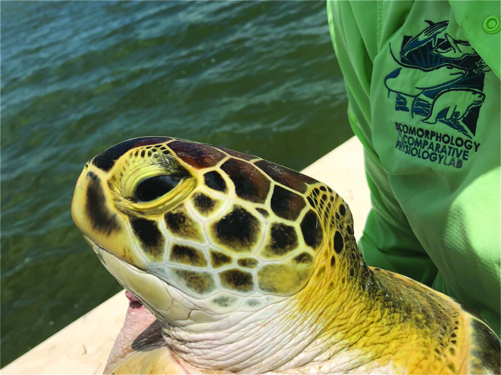 Gulf Center for Turtle Research