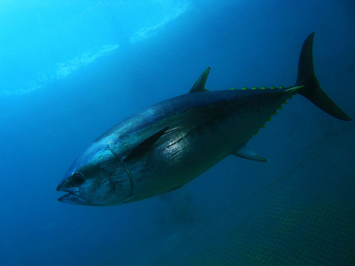 A Pacific bluefin tuna