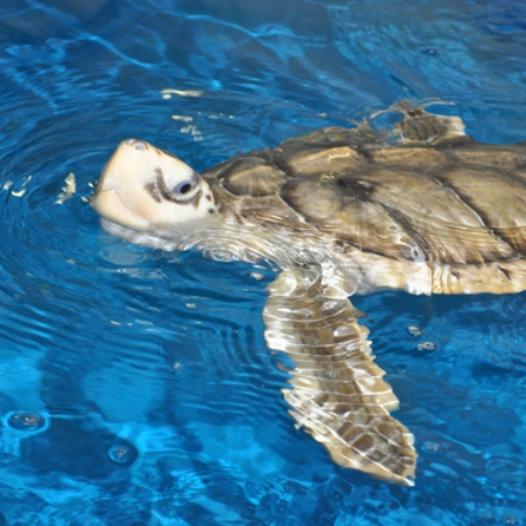 Sea Turtles in Texas Turtle Name Tamug Sea Life